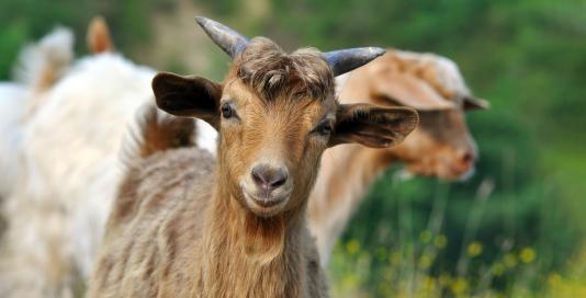 Donate A Goat